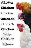 Três galinhas isoladas em um fundo branco. Foto de Stock