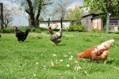 Três galinhas na jarda. Fotografia de Stock Royalty Free