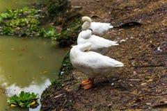 Três gansos brancos engraçados Imagens de Stock
