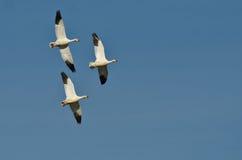 Três gansos de neve que voam em um céu azul Imagem de Stock Royalty Free