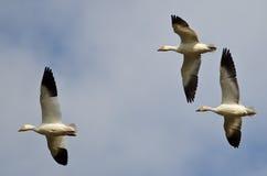 Três gansos de neve que voam em um céu nebuloso Fotografia de Stock
