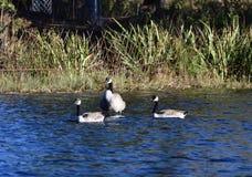 Três gansos em uma lagoa fotos de stock