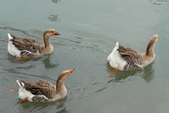 Três gansos que nadam em Dolo no Brenta na província de Veneza no Vêneto (Itália) imagens de stock royalty free