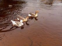 Três gansos que nadam em seguido no rio Imagens de Stock Royalty Free