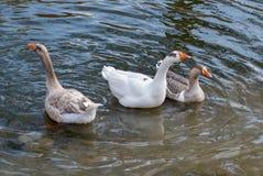 Três gansos que nadam na água Fotos de Stock Royalty Free