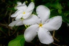 Três Gardenias Fotografia de Stock
