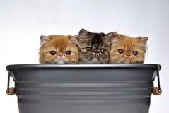Três gatinhos Fotografia de Stock