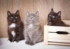 Três gatinhos brincalhão de divertimento sentam-se em torno de uma caixa de madeira e olham-se acima Imagens de Stock Royalty Free