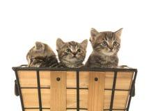 Três gatinhos do gato malhado Imagem de Stock Royalty Free