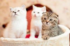 Três gatinhos dois brancos e um cinza Imagem de Stock