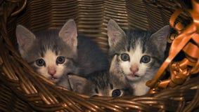 Três gatinhos em uma caixa Fotos de Stock Royalty Free