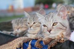 Três gatinhos em uma cesta Fotografia de Stock Royalty Free