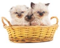 Três gatinhos em uma cesta Fotos de Stock