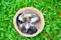 Três gatinhos recém-nascidos que sentam-se na cesta de vime na grama verde fotografia de stock royalty free