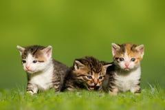 Três gatos/gatinhos pequenos que sentam-se no prado Foto de Stock