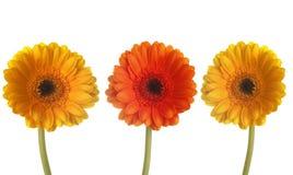 Três gerberas coloridos em seguido Fotos de Stock Royalty Free