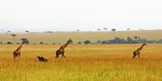 Três giraffes em uma fileira Foto de Stock Royalty Free