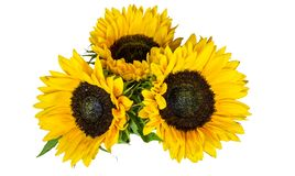 Três girassóis amarelos grandes isolados no fundo branco Flor do outono e do fim do verão fotos de stock