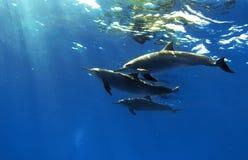 Três golfinhos bonitos que levantam debaixo d'água Fotografia de Stock