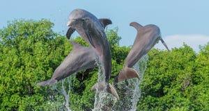 Três golfinhos em um salto da água, espirram dentro da água, contra um fundo das árvores e de um céu sem nuvens azul foto de stock royalty free