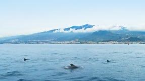 Três golfinhos no mar perto da ilha Imagem de Stock