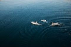 Três golfinhos que jogam no mar imagem de stock
