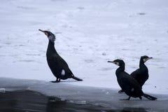 Três grandes Cormorants pretos fotografia de stock