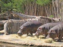 Três hipopótamos que comem a grama Imagens de Stock