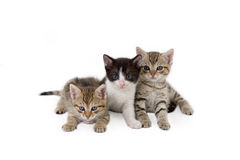Três irmãos do gatinho Fotos de Stock Royalty Free