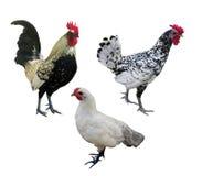 Três isolados nas galinhas brancas Fotos de Stock Royalty Free