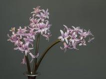 Tr?s jacintos cor-de-rosa no close up do vaso, flor bonita da mola No fundo liso com copyspace Naturalizado, n imagem de stock royalty free