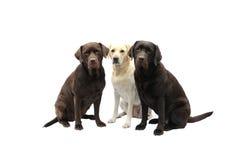 Três labradors Imagens de Stock