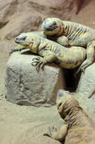 Três lagartos Foto de Stock Royalty Free