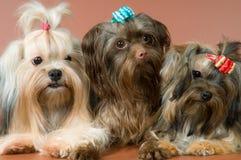 Três lap-dogs no estúdio fotografia de stock royalty free