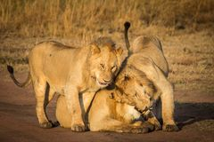 Três leões afagam foto de stock