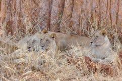 Três leões, parque nacional de Tarangire, Manyara, Tanzânia, África Fotografia de Stock Royalty Free
