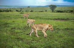 Três leões que desengaçam através das planícies do Masaai Mara Imagem de Stock