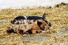 Três leitão do sono Fotografia de Stock