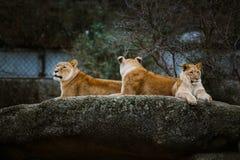 Três leoas africanas da cor vermelha descansam em uma pedra em um jardim zoológico da cidade de Basileia em Suíça no inverno no t Imagem de Stock