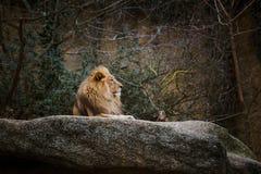 Três leoas africanas da cor vermelha descansam em uma pedra em um jardim zoológico da cidade de Basileia em Suíça no inverno no t Imagens de Stock Royalty Free