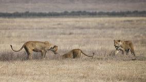 Três leoas levam a cabo um javali africano subterrâneo Fotos de Stock Royalty Free