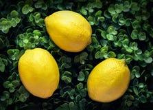 Três limões amarelos em um fundo frondoso verde imagens de stock