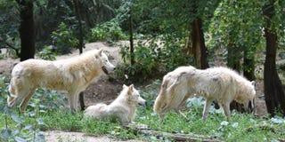 Três lobos árticos brancos na floresta imagem de stock