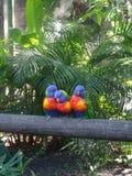 Três lorikeets azul-dirigidos tropicais em um ramo imagem de stock royalty free