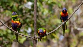 Três lorikeets do arco-íris que sentam-se nos ramos de uma árvore Fotos de Stock Royalty Free