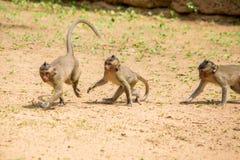 Três macacos de macaque do bebê que jogam e que perseguem-se em um remendo do solo fotos de stock