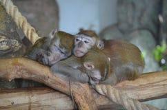 Três macacos novos engraçados dormem junto em um ramo no jardim zoológico Fotos de Stock Royalty Free