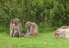 Três macacos sábios? um prefere dormir Imagens de Stock
