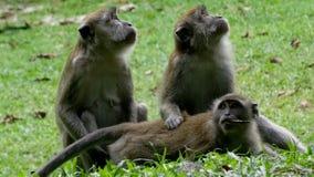 Três macacos sentam-se na grama e olham-se em lados diferentes fotografia de stock