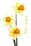 Três narcisos amarelos amarelos translúcidos com desvio Tre Imagem de Stock Royalty Free